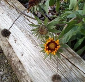 Carrie Hoffman flower blooming in December Cheektowaga NY