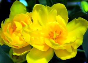 Yellow Ruffles by Kathy Struckle
