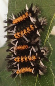 caterpillars of Euchaetes egle moth from Ann Detzler