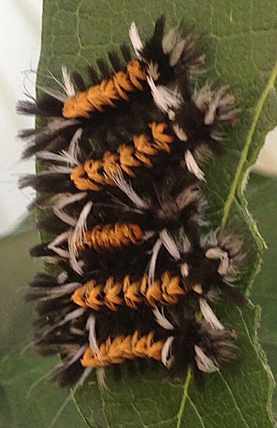 caterpillars of Euchaetes egle moth from Ann Detzler