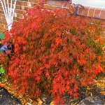 Japanese maple 2 in fall in Youngstown NY