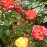 Judy Garland rose from Chet Okonczak in Cheektowaga