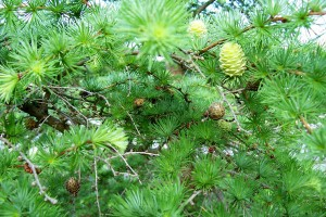 Larch in spring by Nadine Catalano