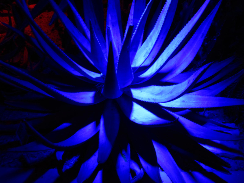 Succulent during Night Lights by Tracy A. Marciano