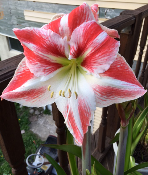 Norma's amaryllis outside in Holland NY