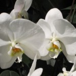orchids in NY Botanial Gardens by Tracy A. Marciano