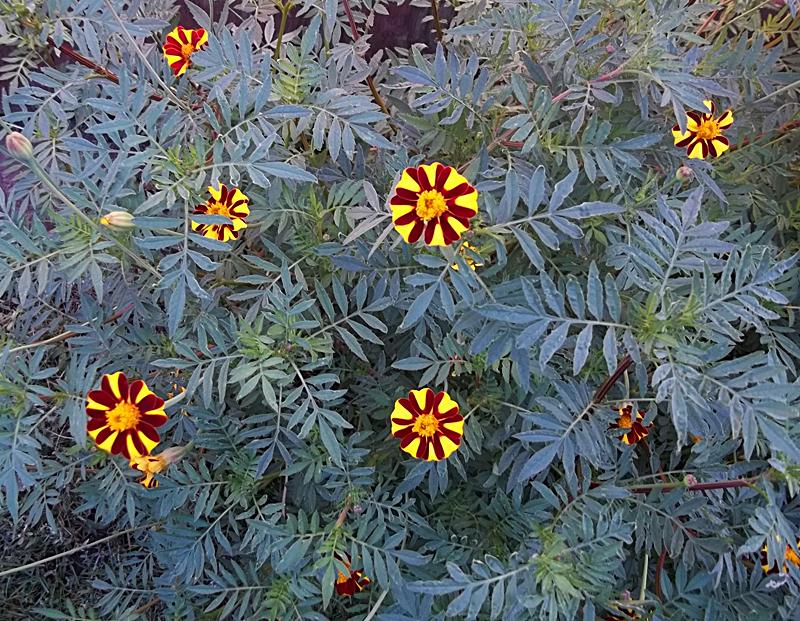 Pulinski marigolds in West Seneca NY