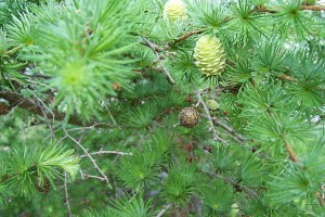 Second photo of larch in spring by Nadine Catalano