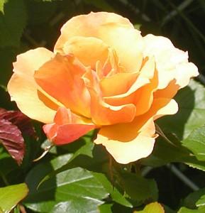 Tequila rose in Cheektowaga NY