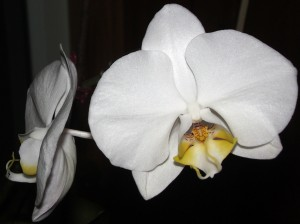 Tina Schlau orchid photo in December 2011