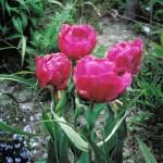 tulip in Buffalo garden