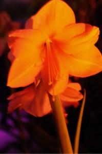 amaryllis by Kathleen Struckle