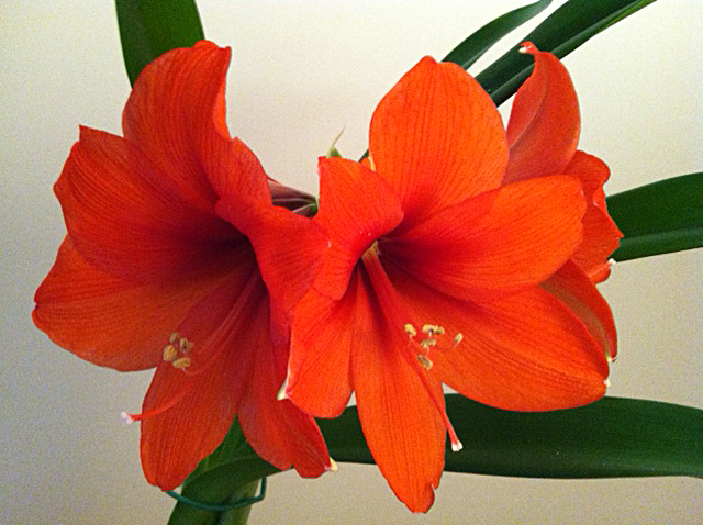 """Karen Synor sent me this photo of her amaryllis in bloom. """"Snow is closing things down all around Buffalo-Niagara,"""" she said, but an inexpensive amaryllis """"is lifting our spirits!"""""""