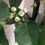 blooming holly from Karen Pfahler in Western New York