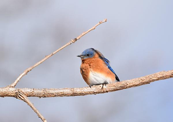 Bluebird Fort Niagara NY