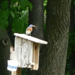 bluebird from Bonnie Bagwell in Sanborn NY