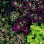 coleus from Rick Brightman