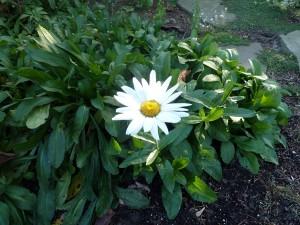 daisy in November in Buffalo NY area