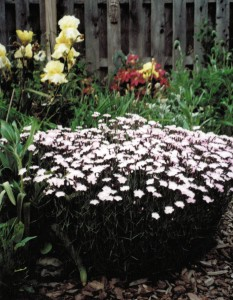 dianthus in Buffalo garden