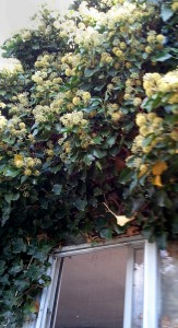 ivy with flowers 2 Depew NY