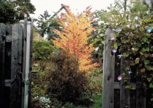 katsura in Buffalo garden