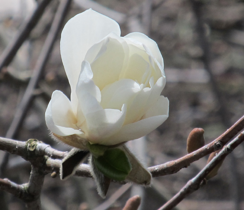 magnolia in Amherst NY by Lois Shriver