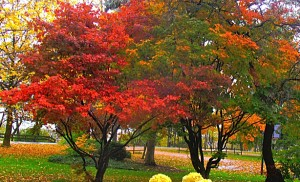 maples in autumn landscape in Youngstown NY