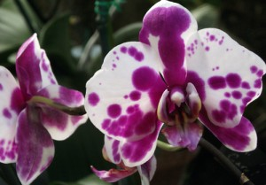 orchid 2 Tina Schlau of Cheektowaga, NY