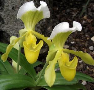 orchid 3 Tina Schlau of Cheektowaga, NY