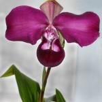 phrag kovachii orchid in Elma NY