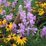 purple obedient flower in Lancaster NY by Debbie Hagemen