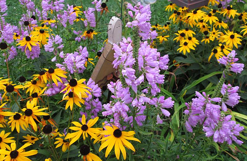 purple obedient flower in Lancaster NY by Debbie Hagemen