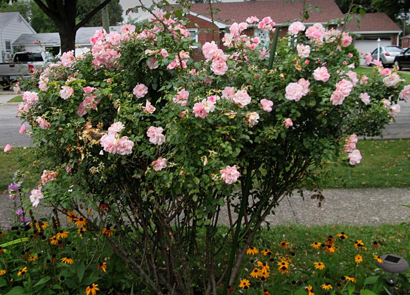 reblooming pink rose by Debbie Hageman