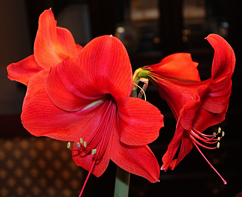 Here's a second view of Patty's amaryllis. Posted Jan. 10, 2014.