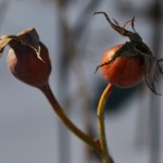 rose hips in Buffalo Garden