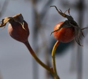 rose hips in Buffalo Garden