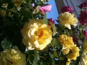 roses from Jennifer Hunt 2