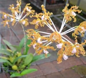 Schomburgkia orchid