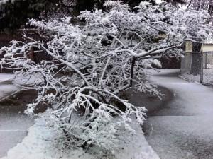 snow-covered tree in Cheektowaga