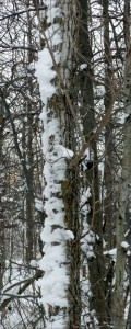 snow covered tree trunk in Amherst NY