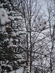 Snow-covered trees in the yard of Maxine Osiewicz.