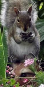 squirrel and fox Glenn Krisher