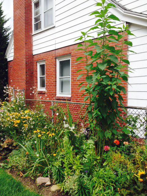 sunchoke from Sharon Amos in Buffalo NY