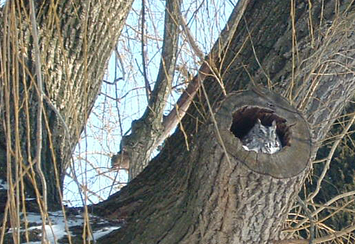 sunnier shot of owl in tree by Glenn Krisher of Youngstown NY