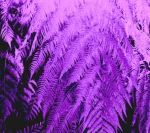 violet fern by Kathy Struckle