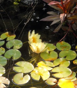 water lilies in East Amherst NY