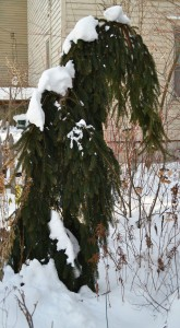 weeping spruce in Buffalo garden