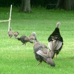 wild turkeys from Bonnie Bagwell of Sanborn NY