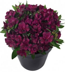 Inticancha  Dark Purple frost tolerant annual