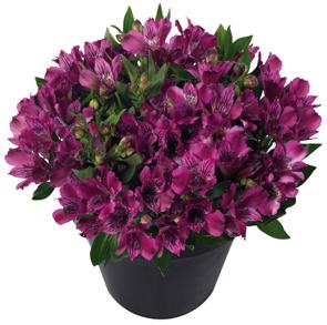 Inticancha  Purple frost tolerant annual